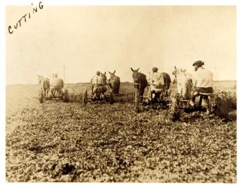 Cutting the fields, Billups plantation